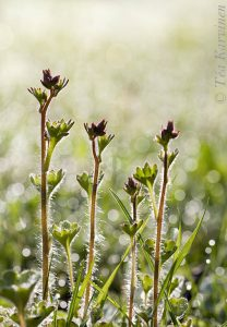 photo of the week 20 – Papelorikko = Saxifraga granulata