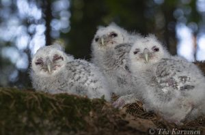 5745 – Strix aluco = lehtopöllö = the tawny owl or brown owl