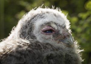 5832 – Strix aluco = lehtopöllö = the tawny owl or brown owl
