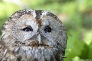 5886 – Strix aluco = lehtopöllö = the tawny owl or brown owl (female)