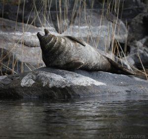 photo of the week 20 ( A Saimaa Ringed seal in Linnansaari National Park)