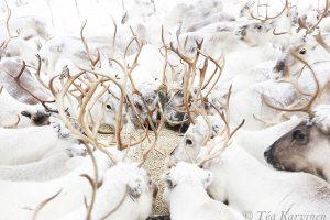 5832 – Talvisin osa paliskunnista joutuu ruokkimaan porojaan.