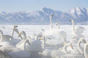 2732 – Swans in Japan (in February)