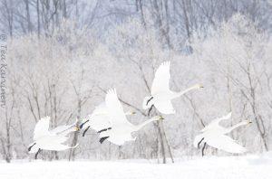 2734  – Swans in Hokkaido, Japan (in February)