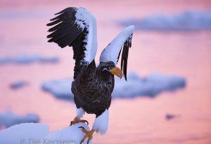 3197 – Steller's Sea Eagle in Hokkaido, Japan