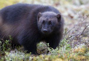 1432 – A wolverine in Lieksa, Finland (www.eraeero.com)