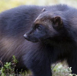 1434c – A wolverine in Lieksa, Finland (www.eraeero.com)