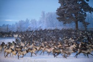 4530 – Reindeer herding