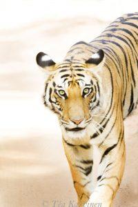 6903 – A tiger in Bandhavgarh National Park, India