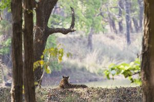 7587 – A tiger in Kanha National Park, India