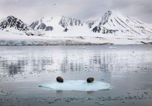 8342 – Bearded seals at Lilliehöök glacier