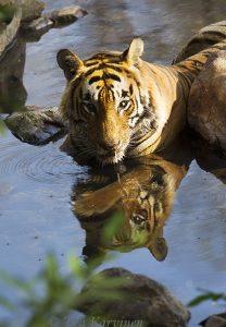 8719 – A tiger in Ranthambhor National Park, India