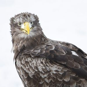 3303 – White-tailed eagle = Merikotka