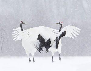 3929 – Red-crowned cranes (= Mantsuriankurjet) in Hokkaido