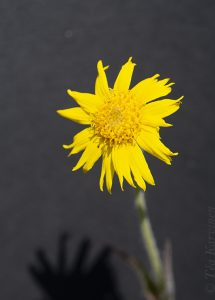 "7265 – Arnica cordifolia (arnikki) - ""heartleaf arnica"""
