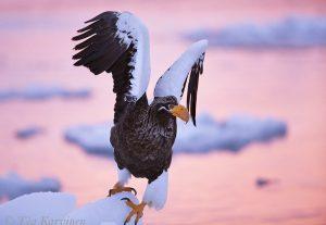 3197 (Steller's sea eagle = Haliaeetus pelagicus = Kuningasmerikotka)