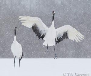 3860 (Red Crowned cranes = Mantsuriankurjet)