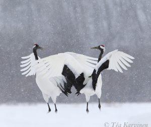 3929 (Red Crowned cranes = Mantsuriankurki)