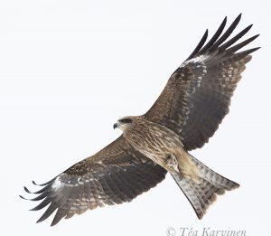 5128 (Black Kite = Milvus migrans = Haarahaukka)
