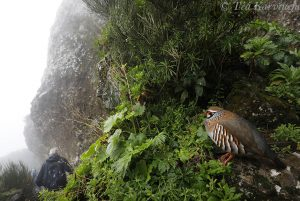 9988 – Alectoris rufa = punapyy = The red-legged partridge in Madeira