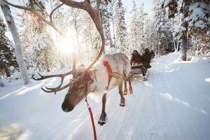 32 – At Kopara reindeer park in Luosto, Sodankylä, Lapland.