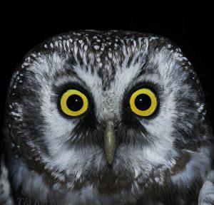 3660 – Tengmalm's owl (helmipöllö)