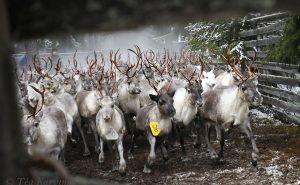 3739 – Reindeer herding with Pyhä-Kallio (paliskunta) near Pyhä-Luosto National Park in southern Lapland.