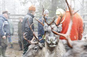 3826 – Reindeer herding with Pyhä-Kallio (paliskunta) near Pyhä-Luosto National Park in southern Lapland.