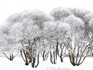 photo of the week 3 (My favorite trees close to home in Rovaniemi)
