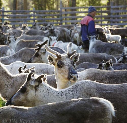 6361 – Reindeer herding & calf marking at Pyhä-Luosto National Park area (Finnish Lapland)