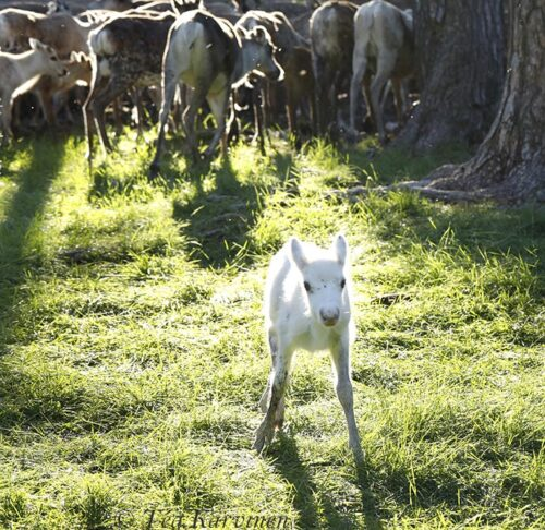 6372 – Reindeer herding & calf marking at Pyhä-Luosto National Park area (Finnish Lapland)