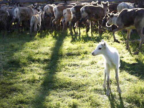 photo of the week 25 – Reindeer herding and calf marking